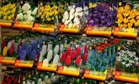 многолетние луковичные цветы в Тюмени Магазин «Айболит»