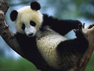 Панда из китайского зоопарка притворялась беременной ради улучшенного питания