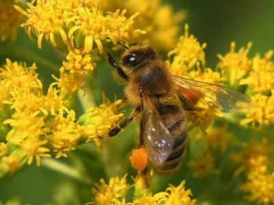 Не исследованный наукой оздоравливающий эффект пчел на человеческий организм